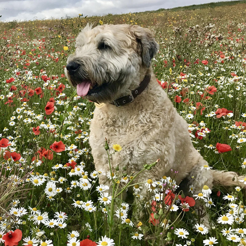 BorrowMyDoggy Soft-coated Wheaten Terrier