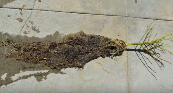 marijuana root systems.