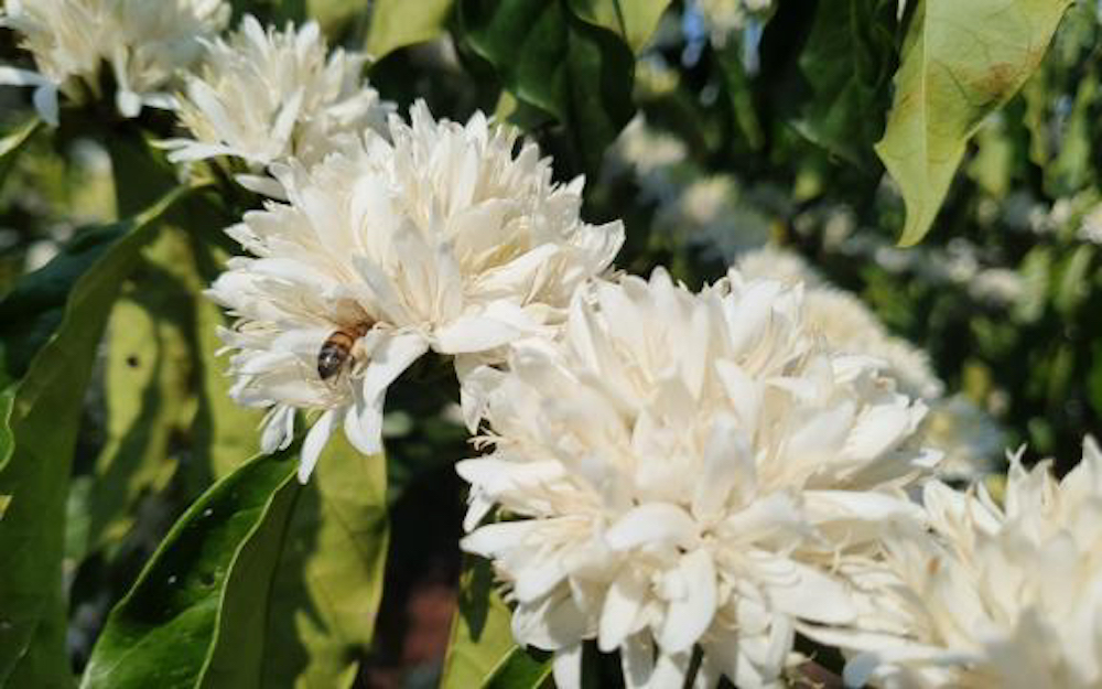 bee on coffee blossoms