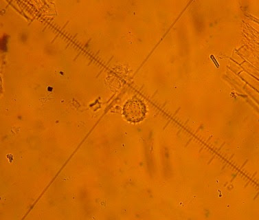 Pyłek nagieka lekarskiego Calendula officinalis, Pot marigold pollen