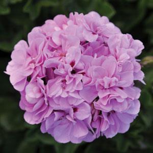 Royal™ Lavender Blue