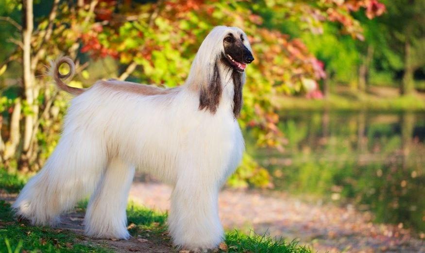 chien afghan aux cheveux qui coule