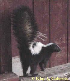 Striped skunk. Photo by Kim A. Cabrera 2002.