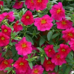Image result for petunia petchoa supercal neon rose