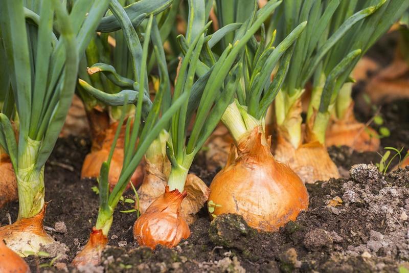 Para o bom desenvolvimento do bulbo, o solo precisa ser profundo, bem drenado e com bastante exposição à luz. (Fonte: Shutterstock)plantação de cebola