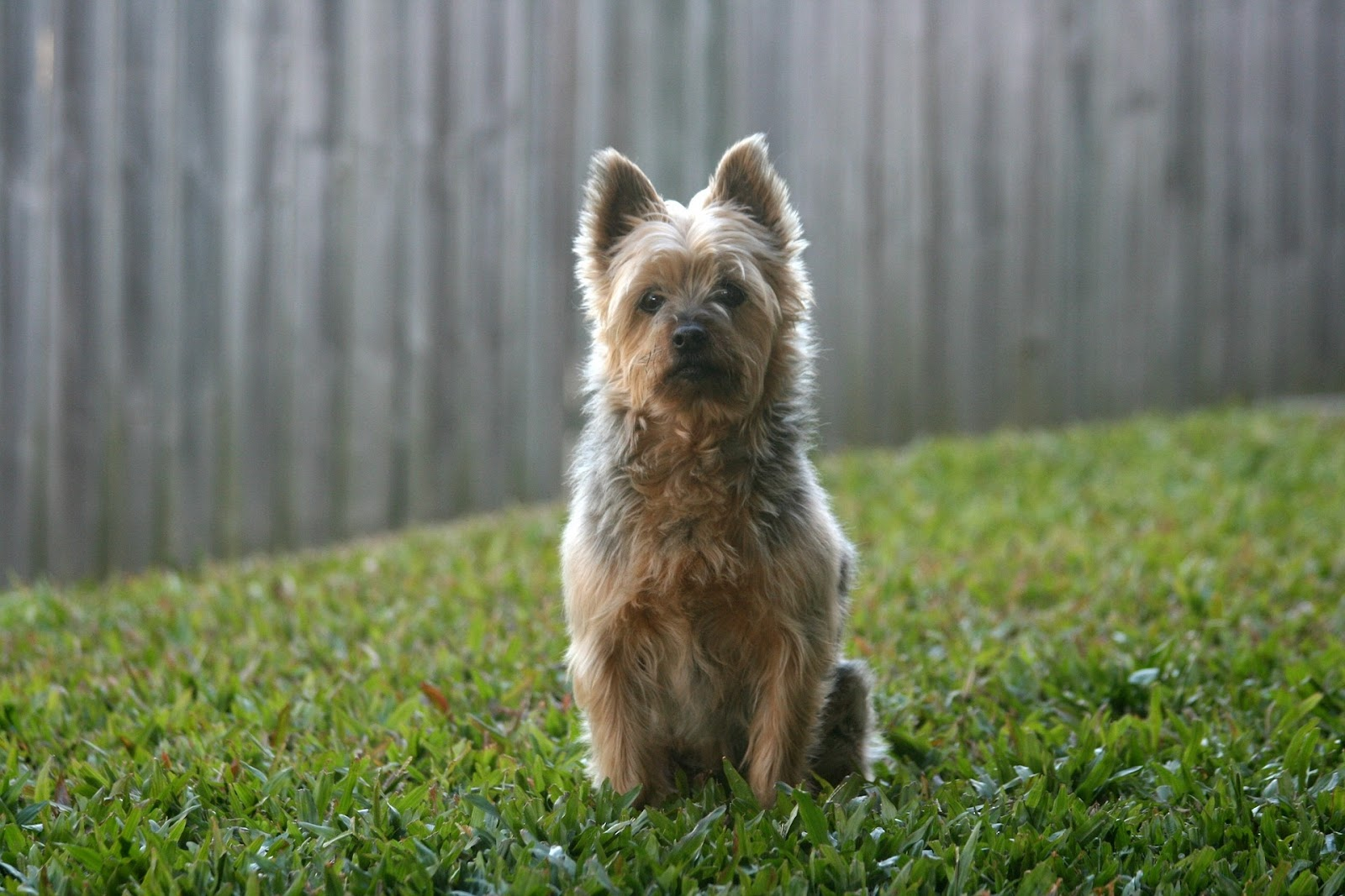 little brown dog sitting in grass in front of a fence