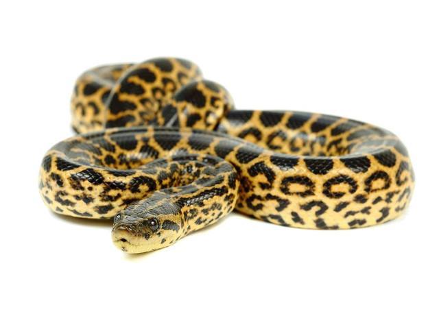 Image result for yellow anaconda