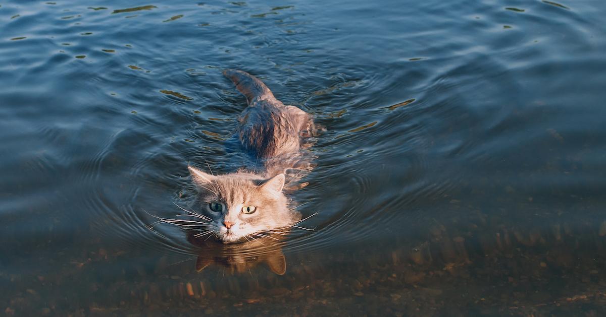 Certains chats aiment l'eau