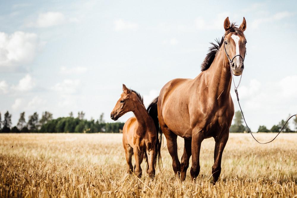 Excesso de carboidratos solúveis nos capins pode provocar graves problemas de saúde em cavalos. (Fonte: Shutterstock)