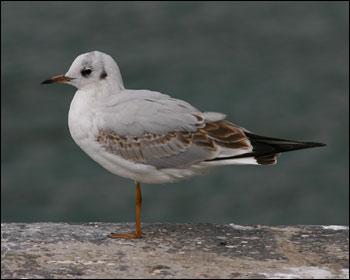 Resultado de imagem para gaivota guincho