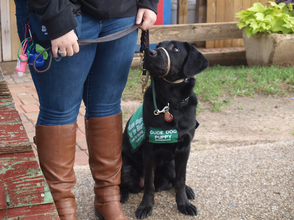 "Black lab puppy wearing a green sign with white letters which says ""Guide Dog Puppy"". He has a muzzle and his leash is held by a puppy trainer."