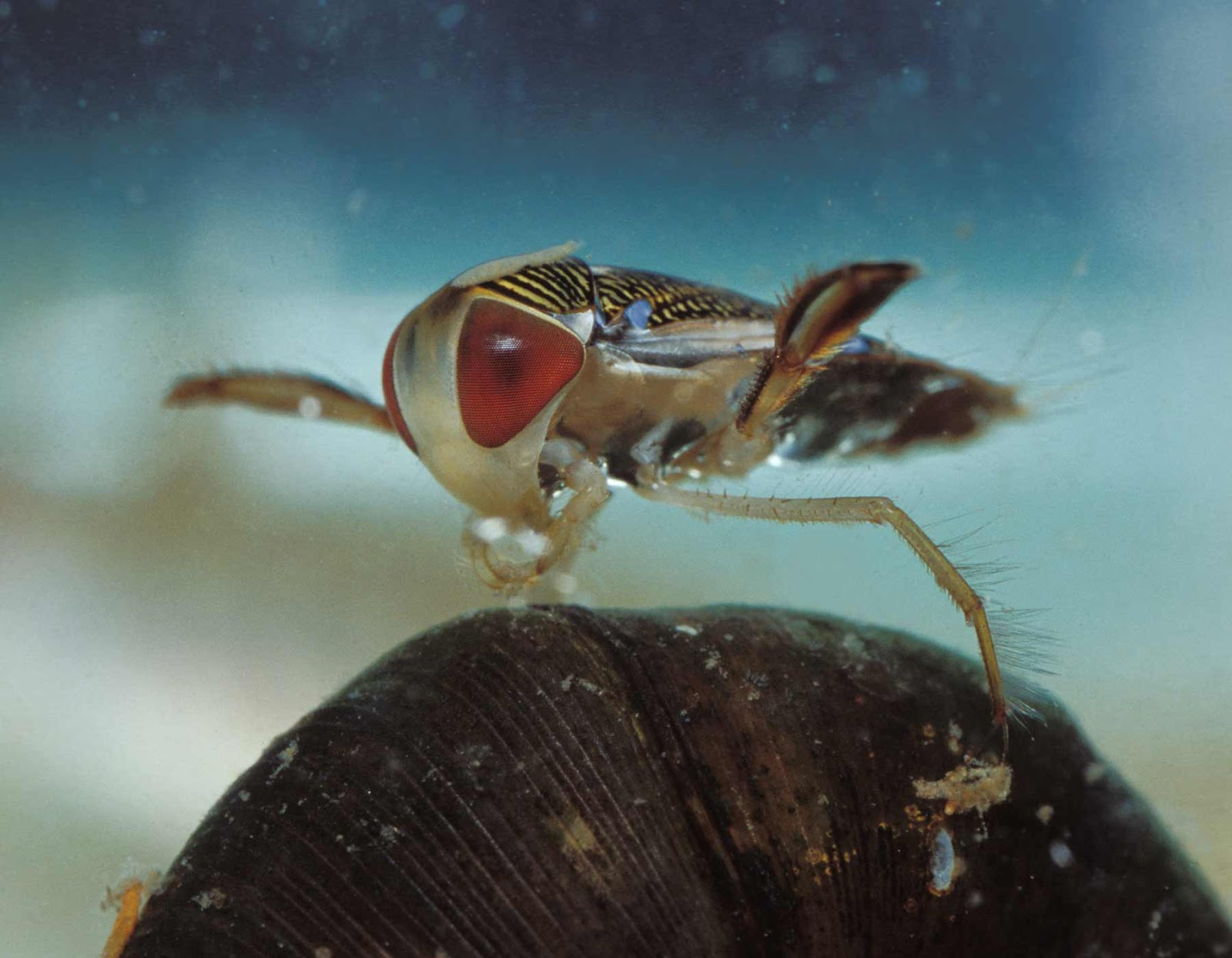 a water boatman bug underwater eating algae