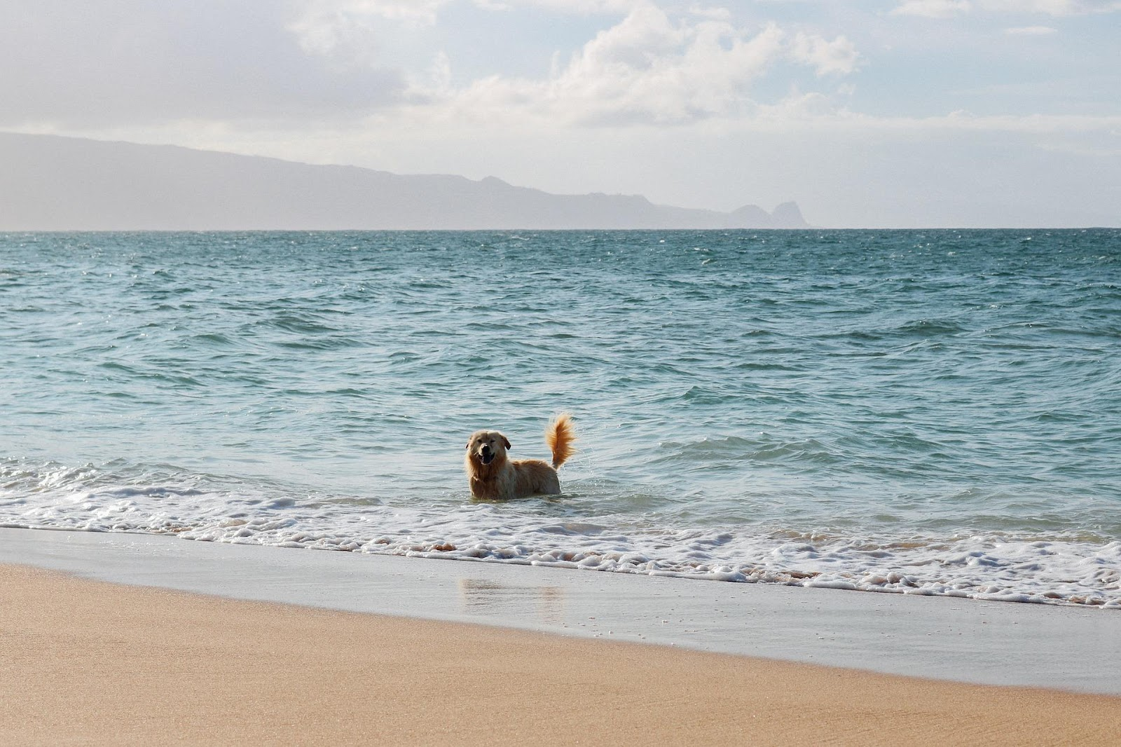 A dog playing in the ocean