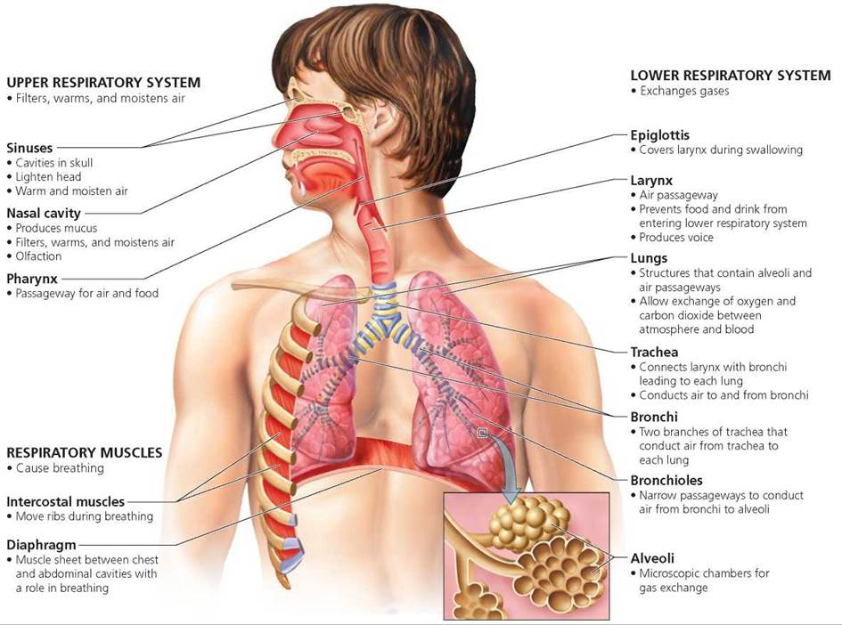 Human body systems: Respiratory system