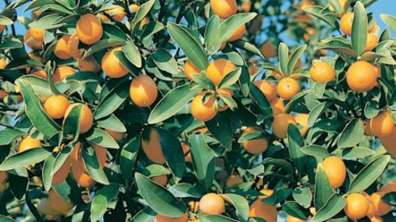 types of kumquats