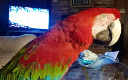 Ambra parrots 3.png
