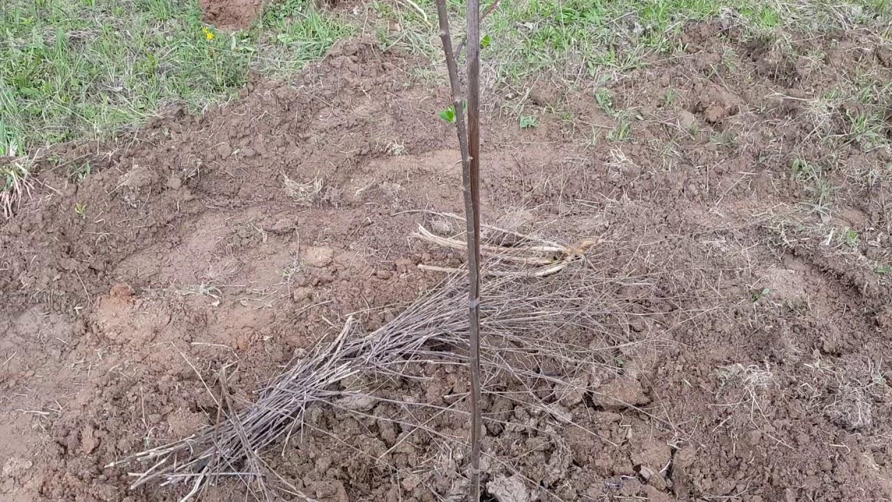 Плюсы осенней посадки винограда