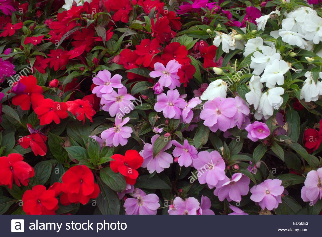 Macintosh HD:Users:sarinavetterli:Desktop:Plant and Granola Sale:Plant Images:New Guinea Impatiens.jpg
