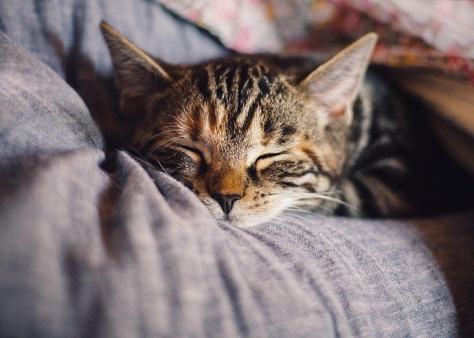 Cat, Pet, Sleep, Domestic Cat, Animal, Rest, Relaxation