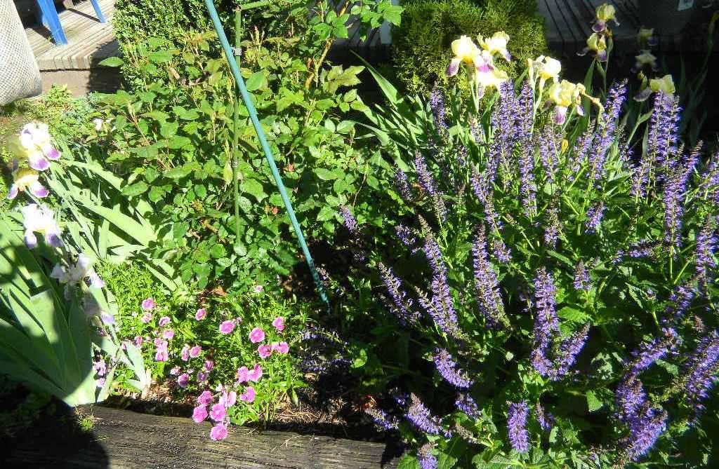 Lavendar and Iris and Dianthus 2014.jpg