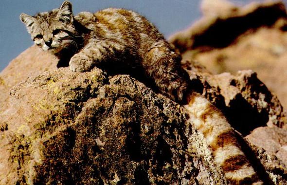 La-perdida-de-habitat-amenaza-a-los-felinos-del-mundo_image_380.jpg