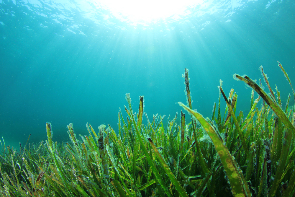 seagrass growing