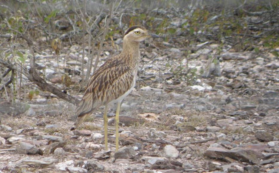 E:ARTICULOS PERIODISMO ECOLOGISTAARTICULO SAROCHE LISTOAves del Semiarido LarenseNo Passeriformes (24 familias)12. Burhinidae (1 especie)a1.Burhinus bistriatus.jpg