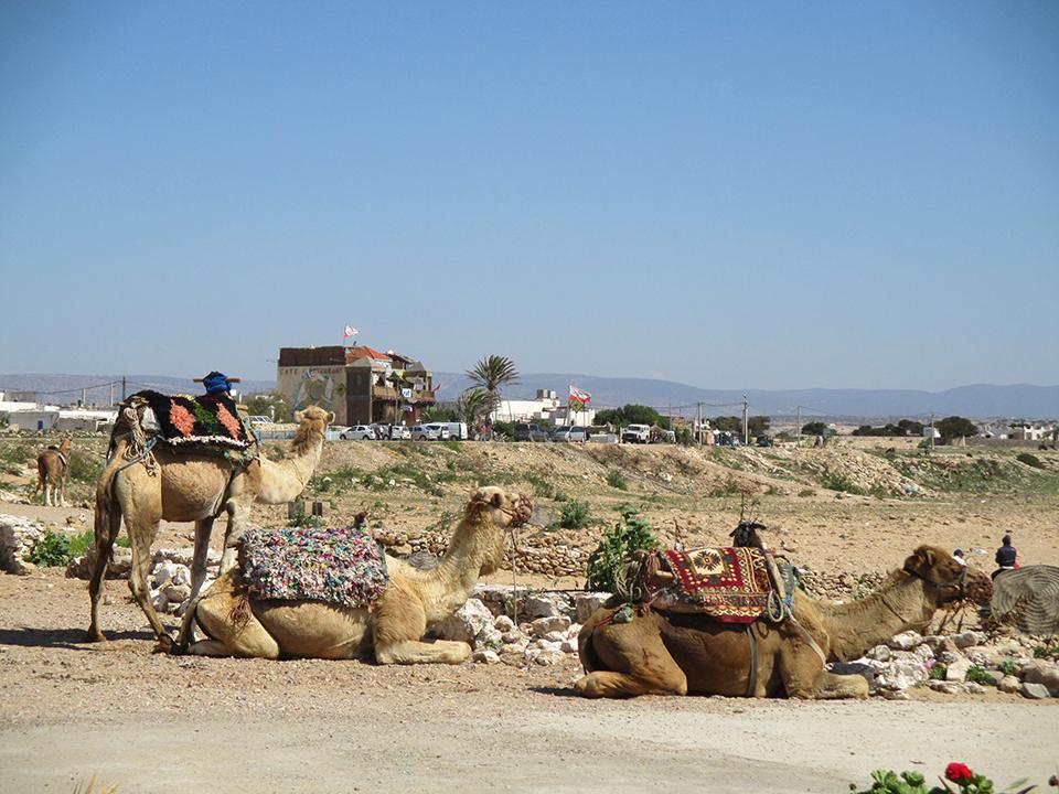 Camels resize.jpg