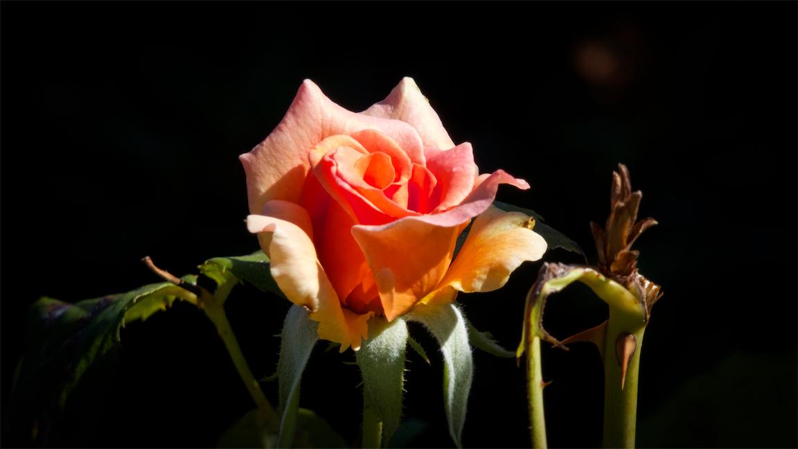 Brave New Rose.jpg
