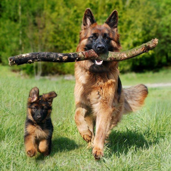 When do German Shepherds Stop Growing? | German Shepherd Dog HQ