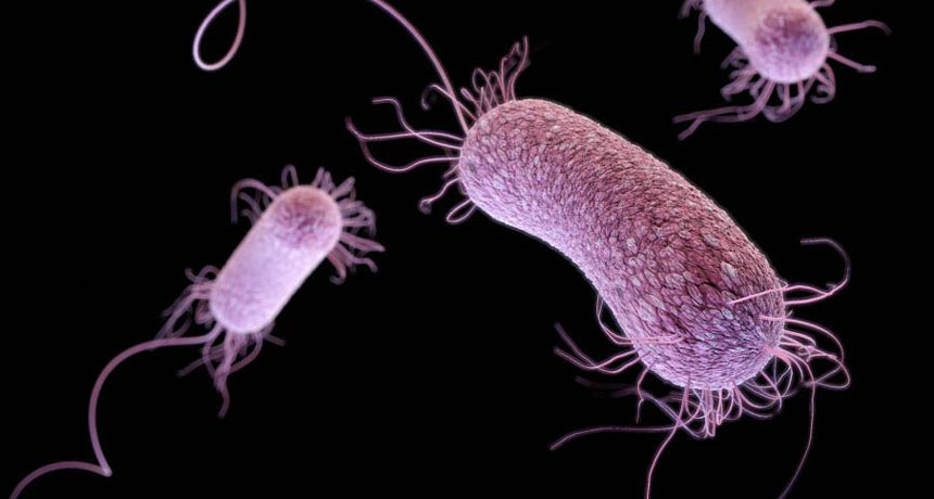 Gram negative bacilli Pseudomonas