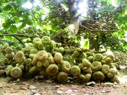 cây vả món ngon đặc sản xứ huế