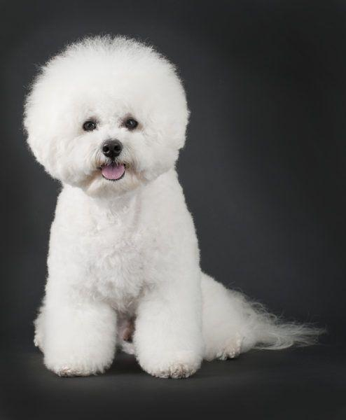 Bichon Frise Puppies for Sale Breed Group: Non-sporting Height ...