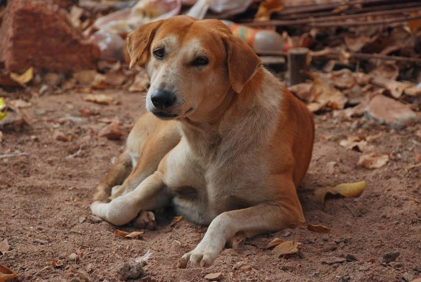 Индийские собаки