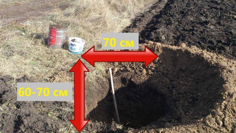 Процесс посадки сливы осенью в открытый грунт