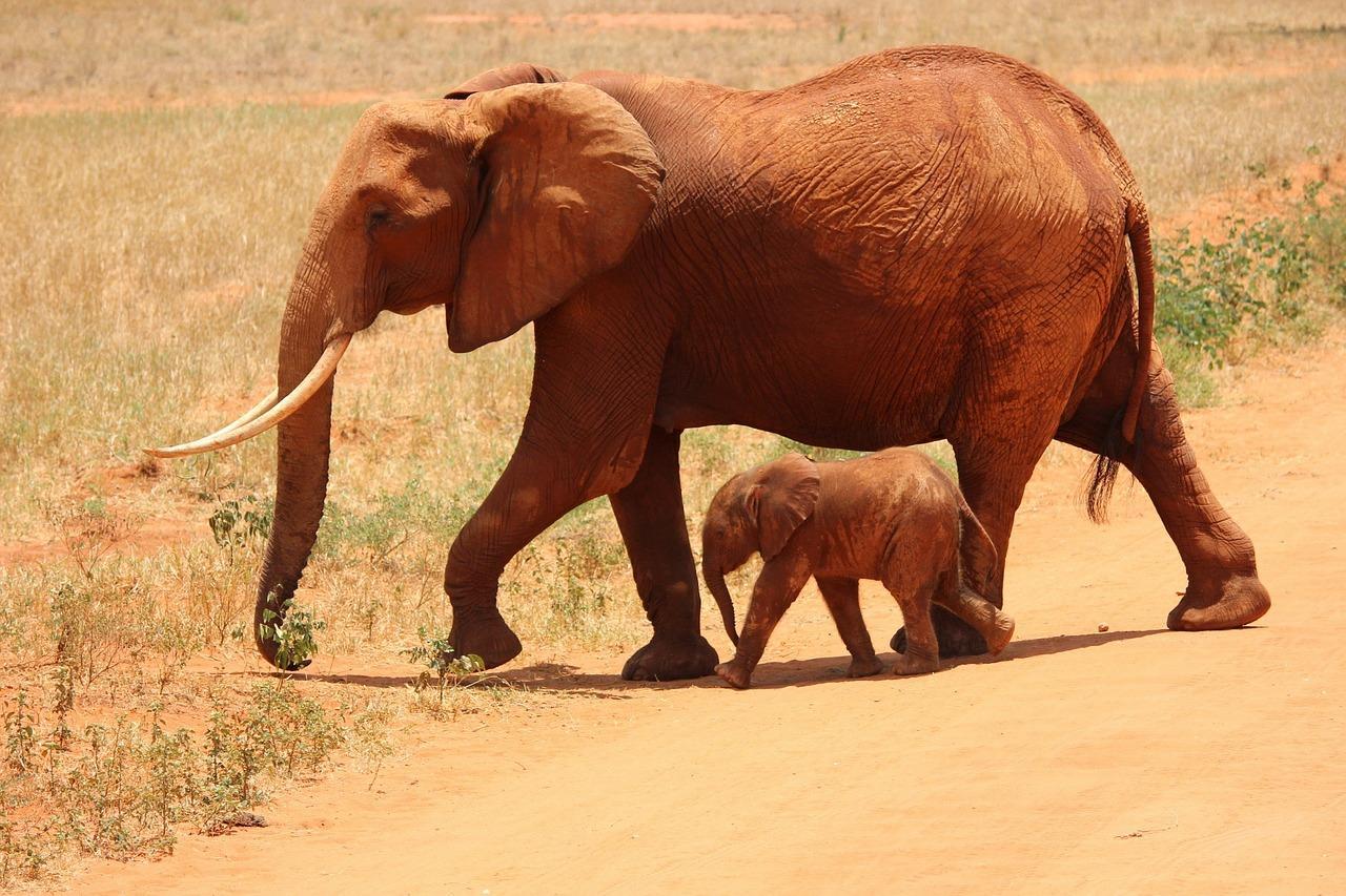 Obraz zawierający trawa, zewnętrzne, słoń, ssak  Opis wygenerowany automatycznie