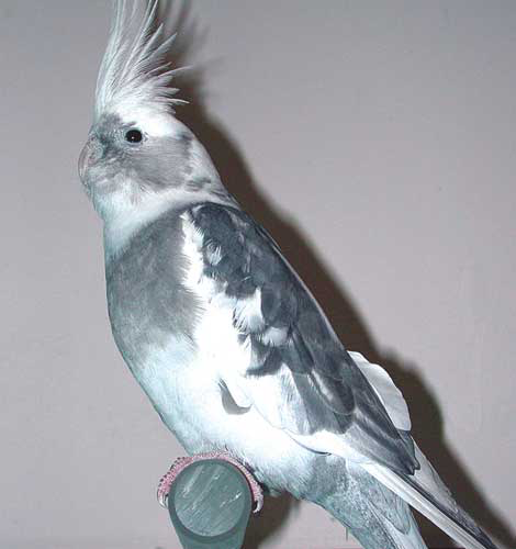 The popularity of cockatiel color mutations brings an increase in disease and unthriftiness. Lutinos (with reddish eyes) seem to have immune deficiencies and short lives, whereas pieds (such as this pied white-faced cockatiel with dark eyes) have fewer health problems