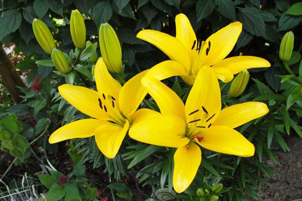Hoa Ly vàng thể hiện sự quan tâm, biết ơn