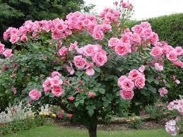 Hoa hồng cổ Trung Quốc và ý nghĩa của nó