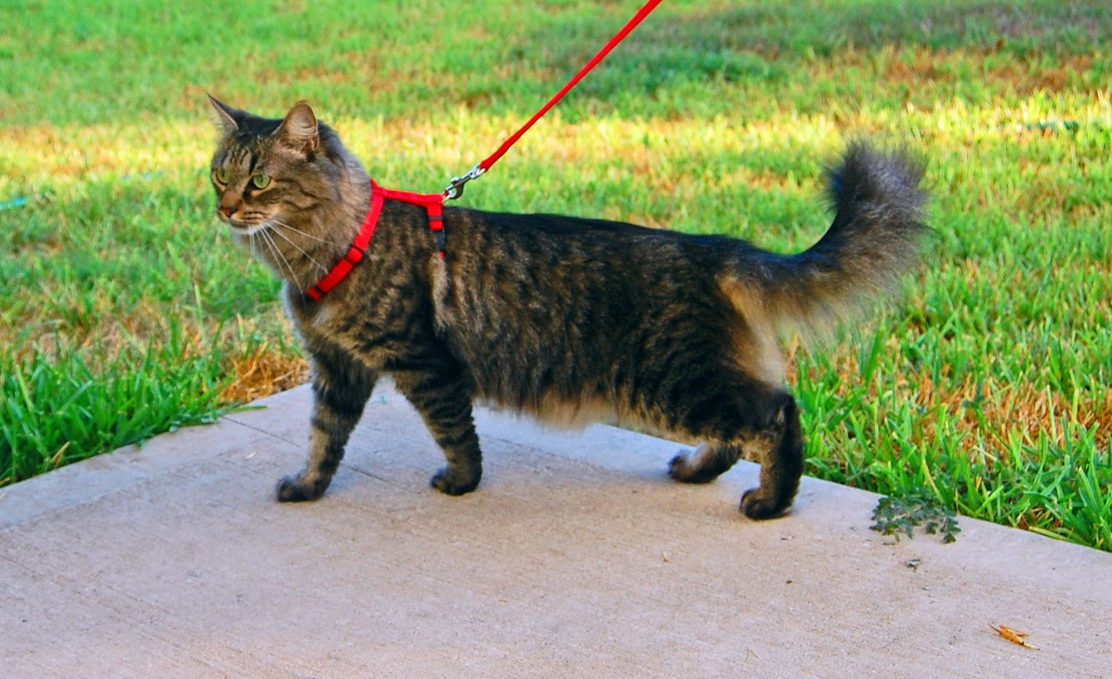 cat with a cat leash