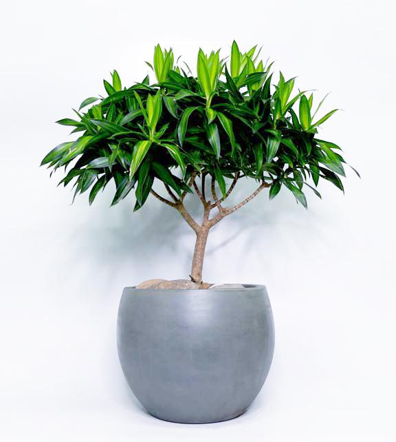 Trúc Bách Hợp được tạo theo kiểu bonsai