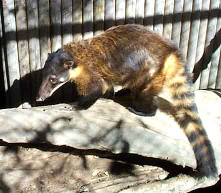Nasau nasau, the South American Coati ranges from extreme southern Arizona, New Mexico and Texas into Mexico (except Baja), Central America, Western Colombia, Ecuador and northern Peru.
