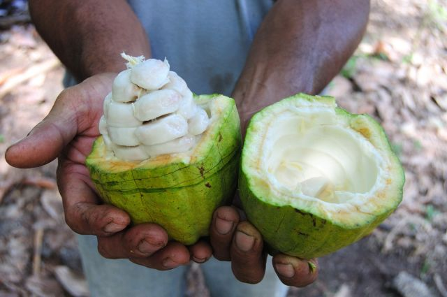 A pair of hands holding an open cocoa pod.