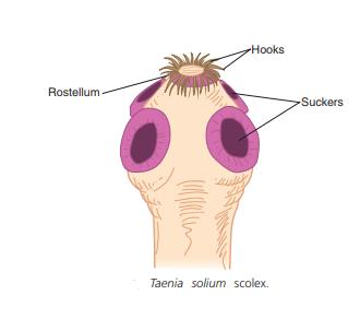 Taenia solium scolex