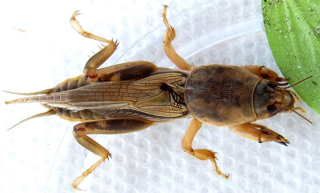https://upload.wikimedia.org/wikipedia/commons/thumb/d/d4/Scapteriscus_vicinus.JPG/1024px-Scapteriscus_vicinus.JPG
