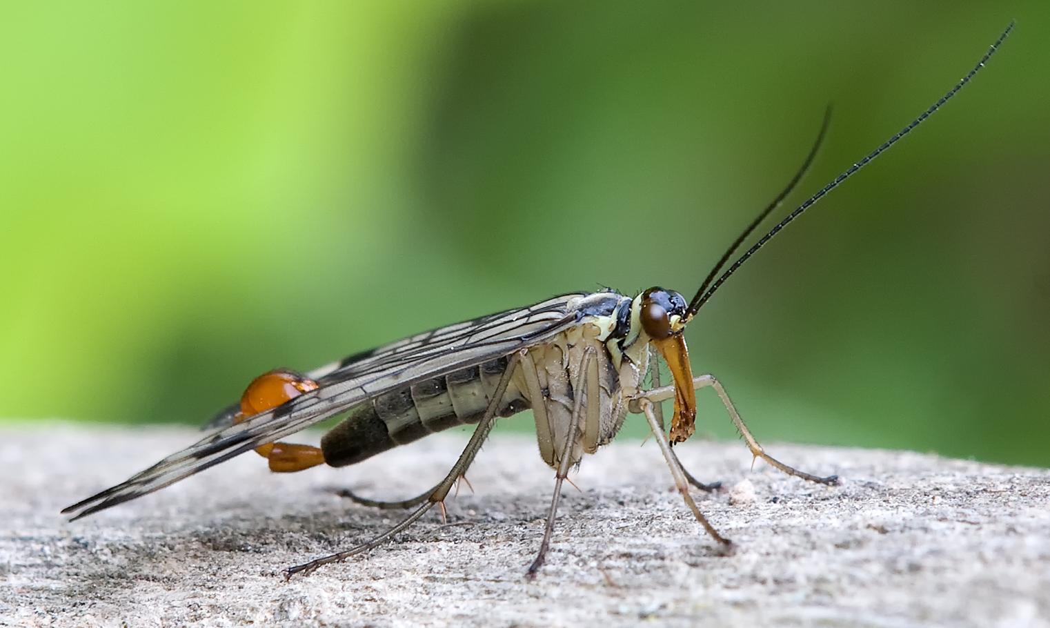 Skorpionsfliege Panorpa communis male full (cropped).jpg