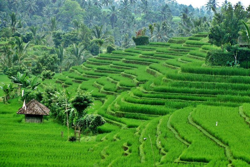 Pupuan sawah Bali