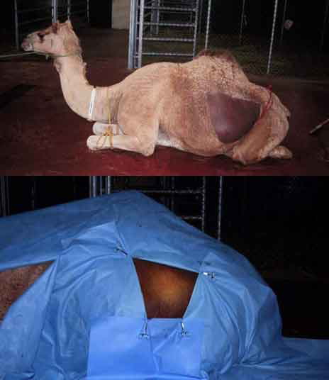 Cesarean section in the camel: Preparation of the surgical site.