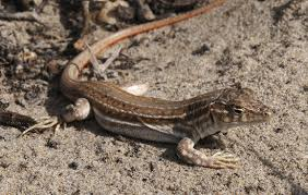New Mexico whiptail lizard
