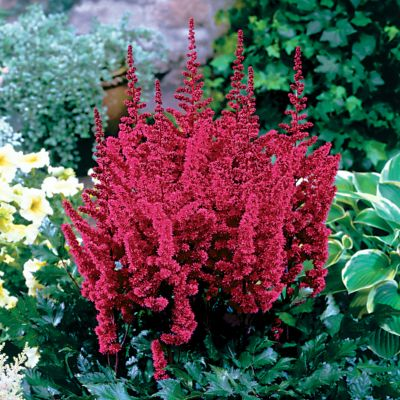 Astilbe Vision in Red.jpg